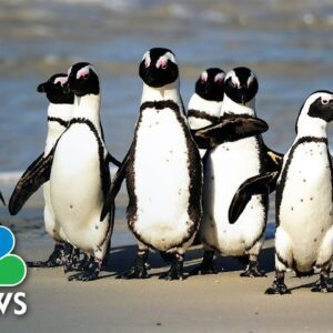 Dozens Of African Penguins Killed After Bee Swarm Attacks Colony In South Africa