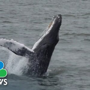 Humpback Whales In New York City's Harbor | Nightly News Films