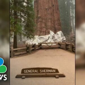 Inside Race To Save World's Largest Tree From Wildfire